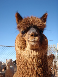 Photo of Adopt-A-Paca – Sentry