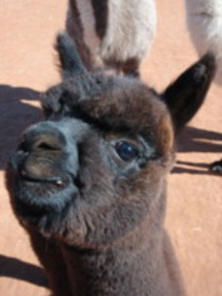 Photo of Adopt-A-Paca – Aimee