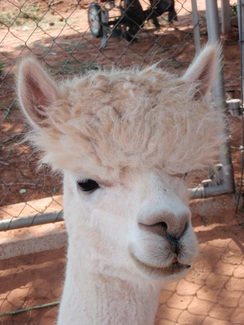 Adopt-A-Paca – Moonbeam