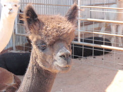 Photo of Adopt-A-Paca – Leo