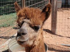 Photo of Adopt-A-Paca – Biscotti