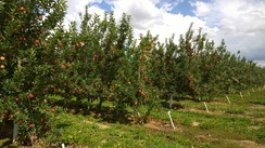 Our apple orchards