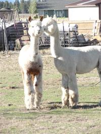 Red Oak Farms Alpacas - Logo
