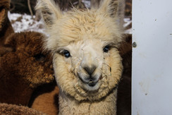 Photo of Adopt an Alpaca