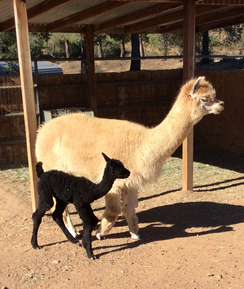 Rhapsody's male cria