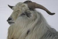 Tilton Hill Goat Farm - Logo