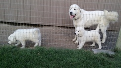 Great  Pyrenees LSG Puppies