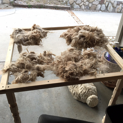Fleece is cleaned and vegetable matter removed on a skirting table.