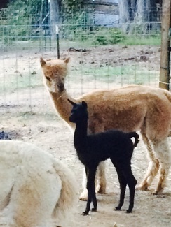 September 2015 Cria Shilo's Stormy Night