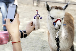 Photographing an Alpaca with a Miniature Felted Alpaca