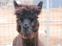 Photo of Adopt-A-Paca - Black Prince