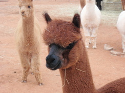 Photo of Adopt-A-Paca Choco