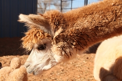Photo of Adopt-A-Paca - Cinnamon