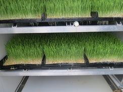 Clean, green, nutritious grass 365 days a year!