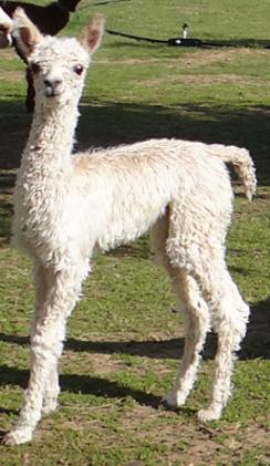 Calpaca: Alpacas For Sale: GVA Koldkist: Suri, Female, Proven ...