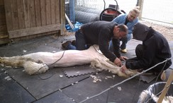 Photo of Alpaca Shearing