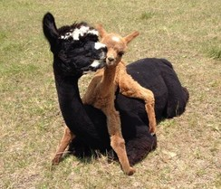Courtesy of Wildwood Alpacas