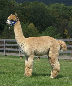 Courtesy of Poplar Hill Alpacas