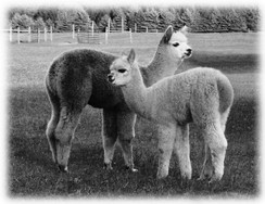 "POOP de Alpacas ""Gold in Black!"""