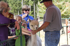 Members of the public enjoy meeting and learning about alpacas at National Alpaca Farm Days.