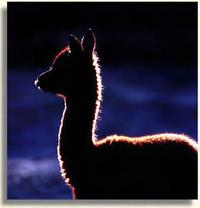 Alpacas of York - Logo