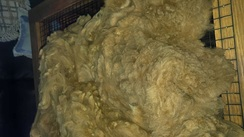 Photo of raw alpaca fleece