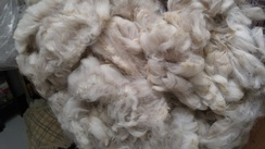 Photo of White alpaca, raw fleece
