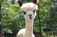 Alpacas of Fairfax Station - Logo
