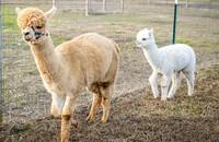 Alpaca Lotta Fun Farm LLC - Logo