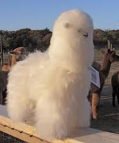 Photo of Alpaca Fur Animal