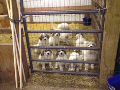 LGD - Great Pyrenees Puppies!