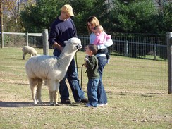 Meet the Alpacas!