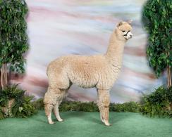 ESTATES LEGENDARY PICASSO-Carolina Alpaca Celebration-Reserve & 1st