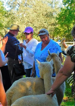 NAFD - Meet the  Alpacas