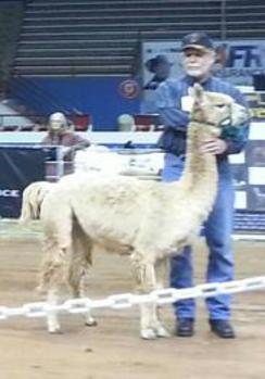 Randy Marburger with Charlotte - A-OL Halter Show - 1st Place Winner