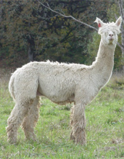 One of our alpacas imported from Peru.