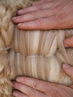 Alpaca fiber showing crimp and shades of color