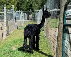 An alpaca soon after being shorn