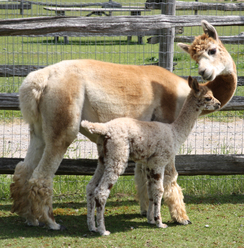 First E.T. Cria (ARRIBA MOMENTOUS) with his recipient mom!