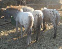 4 K's Miniature Horses - Logo