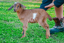 Dolly's 2nd gen doeling (SOLD)