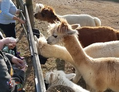 Photo of Alpaca Experience @ Wisolina Farm