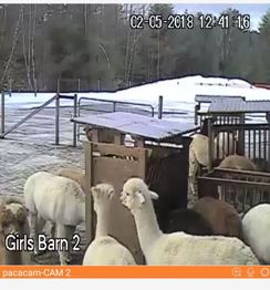 24 hour Alpaca Live Camera Access