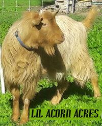Lil Acorn Acres Farm  - Logo
