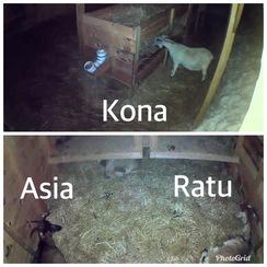 Kona, Asia and Ratu