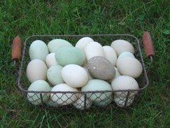 Heritage Ancona Ducks (12 hatching eggs)
