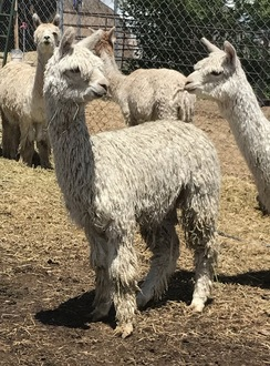 alpaca package for sale