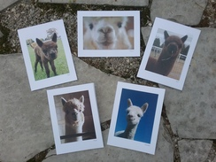 Photo of Alpaca Greeting Cards - 5 ct. pkg.