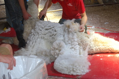 Photo of Shearing Day