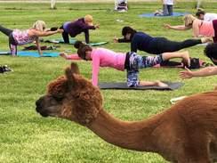 Photo of Posing in the Pasture - Alpaca/Goat Yoga